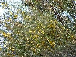 Acacia Aneura Wikipédia A Enciclopédia Livre