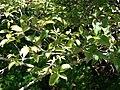 Starr 071024-0273 Myrciaria cauliflora.jpg