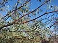 Starr 071225-0679 Prosopis glandulosa.jpg