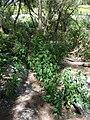 Starr 080604-6223 Euphorbia cyathophora.jpg