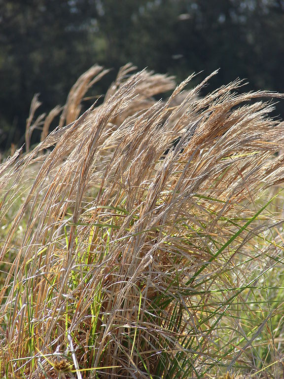 Broomsedge Grass by Forest and Kim Starr