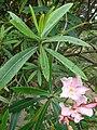 Starr 080610-8113 Nerium oleander.jpg