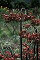 Starr 980529-1411 Pedilanthus bracteatus.jpg