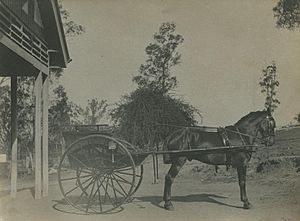 Trap (carriage) - Pony trap in Brisbane, Australia, 1900.