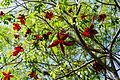 Sterculia lanceolata 5.jpg