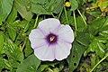 Stictocardia tiliifolia (4).jpg