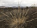 Stipa bloomeri (26906052499).jpg
