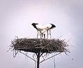 Stork couple (28954978692).jpg