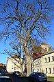 Strausberg, zwei Flatterulmen, ND 41.jpg