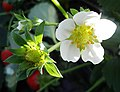 Strawberry flower.jpg