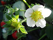 Strawberry flowers and developing fruit