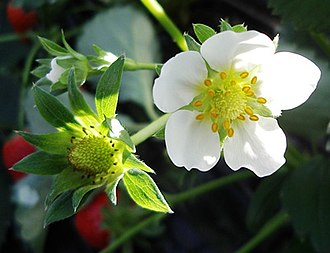 Strawberry - Strawberry flower