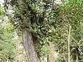 Streblus asper (3111933975).jpg