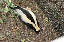 Striped skunk Florida 2.jpg