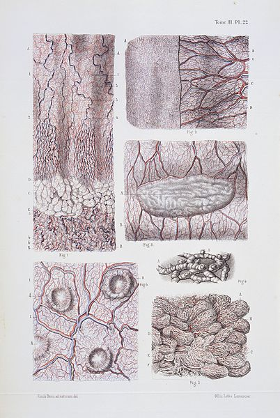 File:Structure of tissue of esophagus, stomach and intestines. Wellcome L0033462.jpg