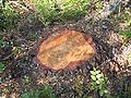 Stump-of-newly-cut-pine FI-EU 2007-Aug-10 by-RAM.jpg
