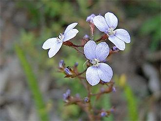 Stylidiaceae - Stylidium amoenum