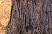 Sugar Maple Acer saccharum Bark Horizontal 3008px.jpg