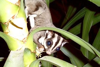 Fauna of Australia - The sugar glider.