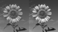 Sunflower convolution.png