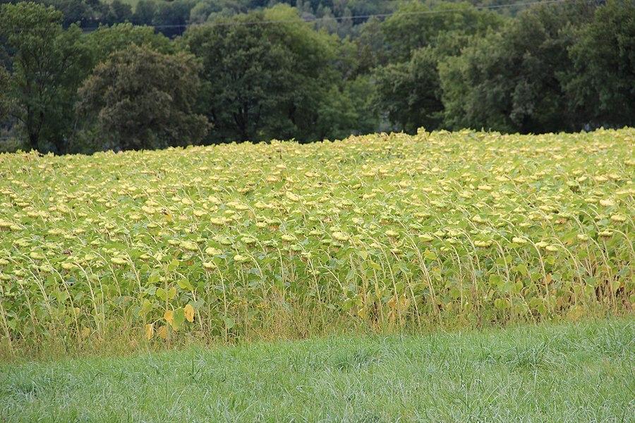 Sunflower field near Collonges