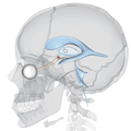 Suprachiasmatic nucleus and ventricular system - lateral view.png