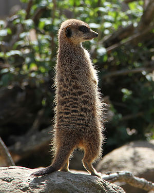 Jersey Zoo - One of the meerkats in 2012.