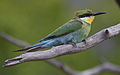 Swallow-tailed bee-eater, Merops hirundineus, at Marakele National Park, Limpopo, South Africa (23899363970).jpg