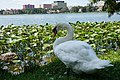 Swan Lake Morton Picture.jpg