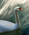 Swan in Wonderland (1917341228).jpg