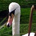 Swan on the River Itchen, near Ovington - geograph.org.uk - 270630.jpg