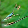 Sybilla pretiosa Cryptic mantis wb.jpg