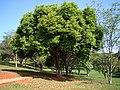Syzygium cumini Tree 3.jpg