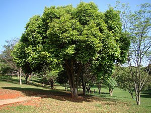300px-Syzygium_cumini_Tree_3.jpg