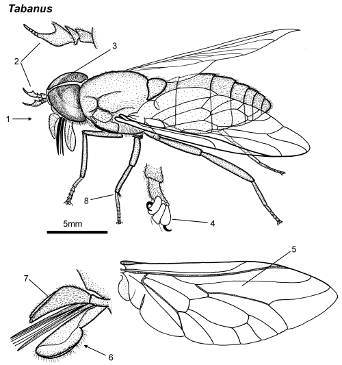 Tabanus female parts.png