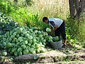 Tajik Farmer Takes Cabbage to the Market (4746072007).jpg