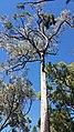 Tall tree in Warrumbungles.jpg