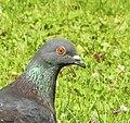 Tamduva Domestic Pigeon (20357598101).jpg