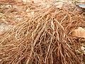 Tapis de racines de platane sous trottoir Platanus root mat under sidewalk Lille northern France 20.jpg