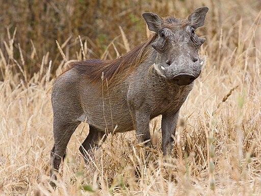 Tarangire Warzenschwein1