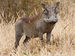 Common Warthog - Photo (c) Ikiwaner, some rights reserved (GFDL)