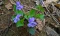 Tarn. Góry - Park OO. Kamilianów (Viola riviniana).jpg