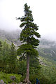 Tatry – limba (Pinus cembra) nad Morskim Okiem.jpg