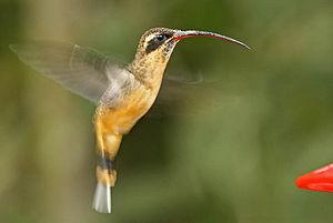 Hermit (hummingbird) - Phaethornis syrmatophorus