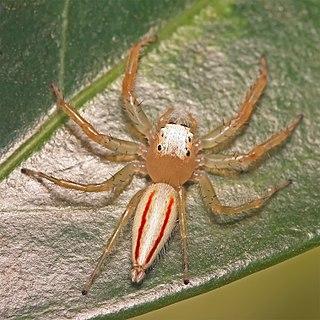 <i>Telamonia</i> Genus of spiders
