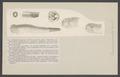 Teredina personata - - Print - Iconographia Zoologica - Special Collections University of Amsterdam - UBAINV0274 005 07 0050.tif