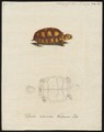 Testudo tabulata - 1700-1880 - Print - Iconographia Zoologica - Special Collections University of Amsterdam - UBA01 IZ11600069.tif