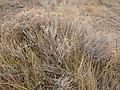 Tetradymia canescens (5017717791).jpg