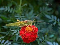 Tettigonia viridissima Tagetes-20190906-RM-130430.jpg