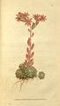 The Botanical Magazine, Plate 68 (Volume 2, 1788).png